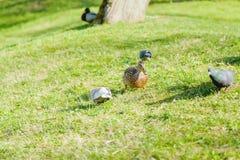 Anatra e piccione sul prato inglese Immagine Stock