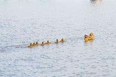 Anatra ed anatroccoli femminili sul fiume fotografie stock libere da diritti