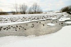 Anatra-grande famiglia sul fiume nell'inverno Immagini Stock Libere da Diritti