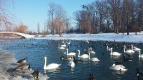 Anatra il lago Erie Fotografia Stock