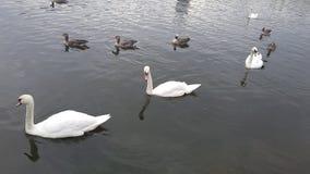 Anatra in lago Immagini Stock
