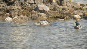 Anatra mallicana maschile e femminile che nuota su uno stagno archivi video