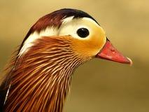 Anatra mandarina 01. Duck mandarina taken back in the center storks of Racconigi Stock Image