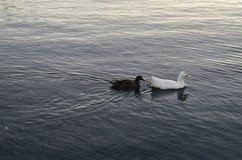 Anatra in mare Fotografia Stock Libera da Diritti
