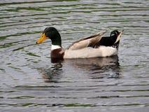 Anatra maschio di Mallard in lago Immagine Stock