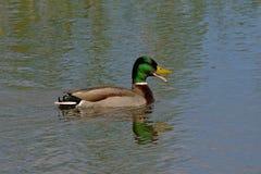 Anatra maschio di nuoto con il becco aperto - platyrhynchos di anas immagine stock libera da diritti