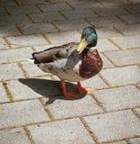 Anatra maschio urbanizzata del germano reale sul marciapiede fotografia stock