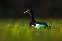 Anatra muta, cairina moschata, nell'erba verde dell'acqua, uccello nell'habitat della natura, negativo per la stampa di cartamone Fotografia Stock