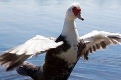 Anatra muta nel lago Fotografie Stock