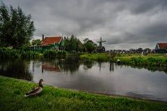 Anatra nei Paesi Bassi in un giorno tempestoso Fotografia Stock