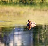 Anatra nel lago Fotografia Stock