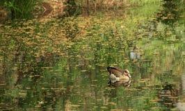 Anatra nel lago Immagini Stock