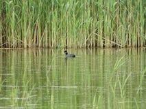Anatra nel lago Immagine Stock Libera da Diritti