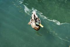 Anatra nel mare Fotografia Stock Libera da Diritti