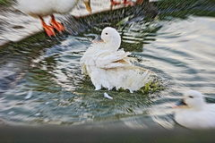 Anatra nell'acqua Immagini Stock Libere da Diritti