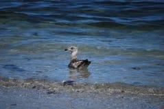 Anatra nell'oceano Immagini Stock Libere da Diritti
