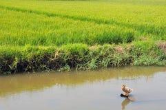 Anatra nella risaia di riso Immagini Stock Libere da Diritti