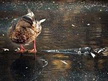 Anatra nello stagno di autunno Fotografie Stock Libere da Diritti