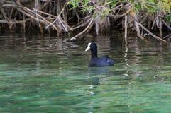 Anatra nera con gli occhi rossi sul lago Fotografia Stock