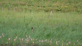 Anatra selvaggia di Mallard con i platyrhynchos di anas della libellula nell'erba video d archivio