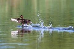 Anatra selvatica Fotografia Stock Libera da Diritti