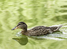 Anatra selvatica in acqua Fotografie Stock Libere da Diritti