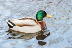 Anatra selvatica che galleggia sull'acqua Fotografia Stock