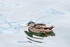 Anatra selvatica che galleggia sull'acqua Fotografie Stock