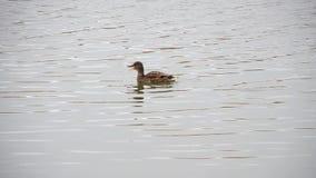 Anatra selvatica che galleggia in uno stagno archivi video