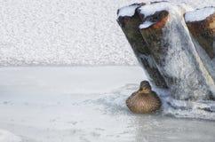 Anatra selvatica che si siede sul ghiaccio di un fiume congelato fotografia stock libera da diritti