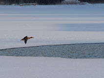 Anatra selvatica di volo Fotografie Stock