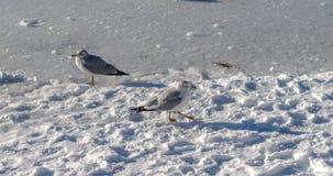 Anatra selvatica ed uccello nel lago durante l'inverno, Canada deer gennaio 2017 Fotografie Stock