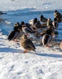 Anatra selvatica ed uccello nel lago durante l'inverno, Canada deer gennaio 2017 Immagine Stock