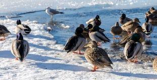 Anatra selvatica ed uccello nel lago durante l'inverno, Canada deer gennaio 2017 Fotografie Stock Libere da Diritti