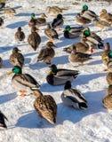 Anatra selvatica ed uccello nel lago durante l'inverno, Canada deer gennaio 2017 Immagini Stock