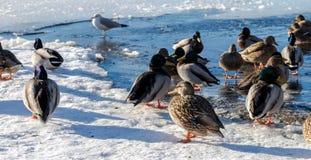Anatra selvatica ed uccello nel lago durante l'inverno, Canada deer gennaio 2017 Fotografia Stock
