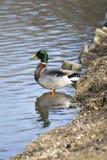 Anatra selvatica maschio che sta in un lago Fotografia Stock Libera da Diritti