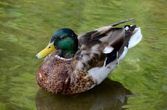 Anatra selvatica maschio del maschio di Mallard in acqua verde Immagine Stock Libera da Diritti