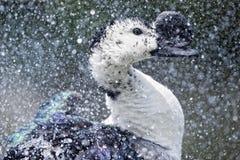 Anatra selvatica mentre spruzzando sull'acqua Immagine Stock Libera da Diritti