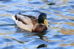 Anatra selvatica nel lago Fotografia Stock