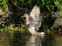 Anatra selvatica (platyrhynchos di Anas) Fotografie Stock