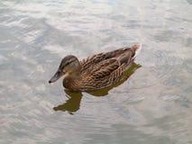 Anatra selvatica su acqua Fotografie Stock