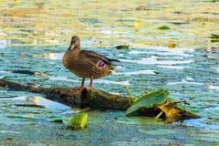 Anatra selvatica sul fiume Fotografie Stock