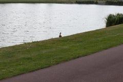 Anatra sola alla riva del lago fotografia stock
