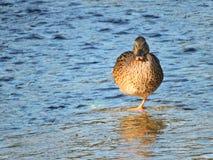 Anatra sola su una gamba che riposa in The Creek Fotografia Stock Libera da Diritti