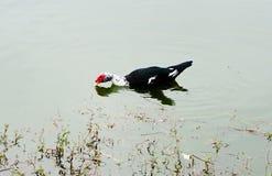 Anatra su acqua fotografie stock libere da diritti