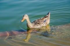 Anatra su acqua, uccello, anatra, uccello su acqua Fotografia Stock