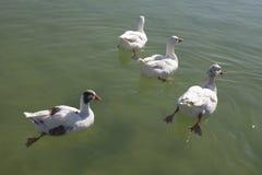 Anatra su un lago Immagini Stock