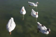 Anatra su un lago Fotografia Stock Libera da Diritti
