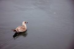 Anatra sul fiume Fotografia Stock